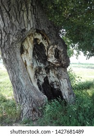 Old tree with a hollow and grass.