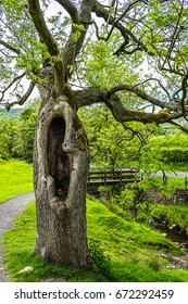 Old tree with hollow on footpath on springtime, Lancashire, England UK