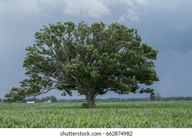An old tree in a Indiana corn field waiting for the storm to roll in