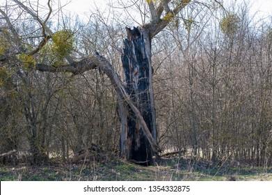 old tree killed by lightning thunderstorms. Lightning struck a tree.