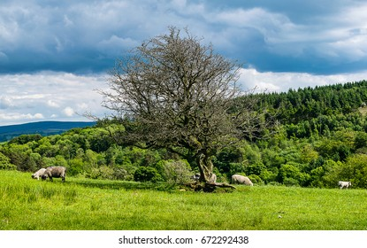 Old tree and lamb on English countryside on springtime in Forest of Bowland, Lancashire, England UK