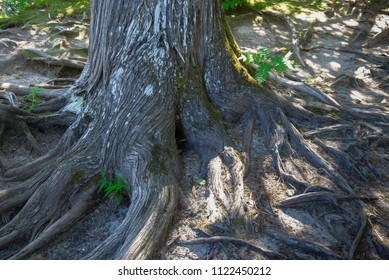 Old tree with many roots