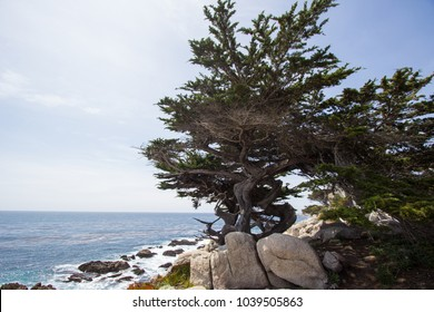 An old tree at the monterey beach