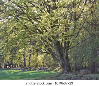 old tree, oak, southern Bohemia, Czech Republic