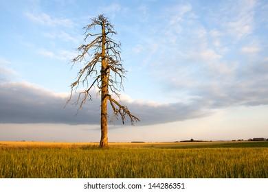 old tree on fields