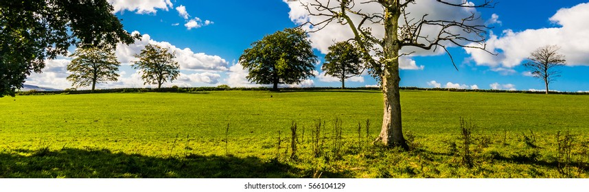 Old tree on the grass field with young Trees on the horizon. Blue sky and white clouds, wide aspect ratio, Lancashire, England UK