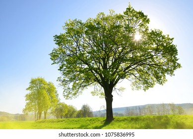 Old tree on meadow. Sunny morning in spring landscape.