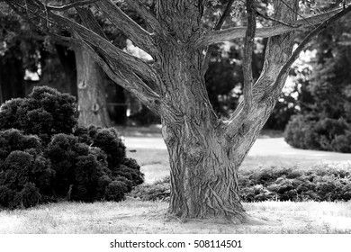 old tree in the park, black and white photo