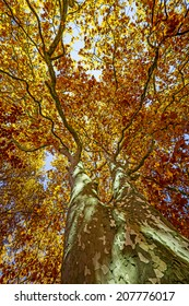 old tree - plane tree in the autumn time