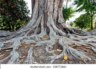 Old tree root.  Large beutiful fairy tale like root of old tree in the park.