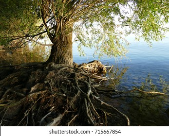 Old tree with roots above the ground in Tihany by lake Balaton