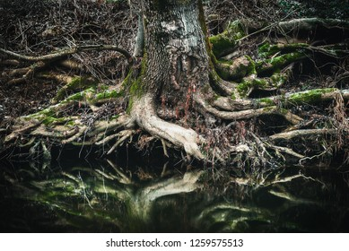 Old tree roots on the shore of river. The reflection of tree roots on water.