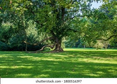 Old tree - Soliter in the garden. The sun shines and forms shadows in the meadow.
