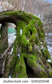 old tree stuck with green moss