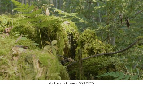 Old tree stump covered with moss in the coniferous forest, beautiful landscape. Stump with moss in the forest
