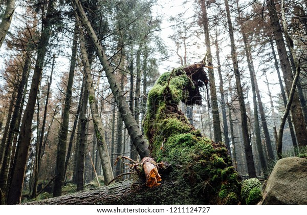 Old tree stump in a dense spruce forest