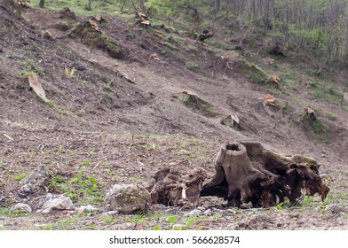 old tree stump and fresh felling of trees in the forest in the mountains