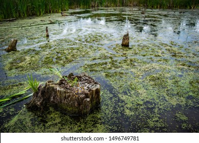 Old tree stump overgrown with moss and shoots in marsh with green algae and bullrushes