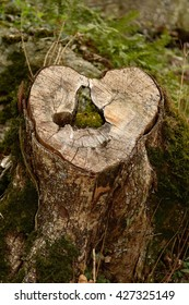 An old tree stump in the shape of a heart