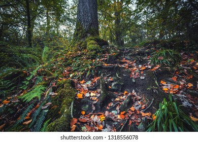 Old tree trunk with exposed roots in forest at autumn. North Wales in United Kingdom