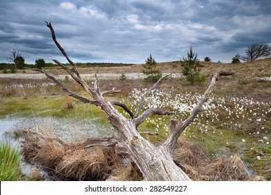 old tree trunk on swamp with cottongrass, North Brabant, Netherlands