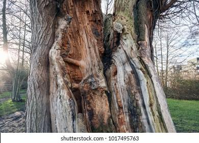 Old Tree Trunk split by Lightning - Close Up Detail