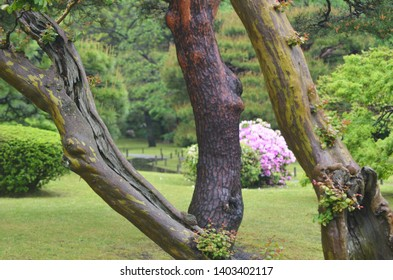 Old tree trunks in a formal park dominate the view. The lush grounds of the Japanese park are in the background, including a pink azalea bush. A wooden path over a stream is in the distance.