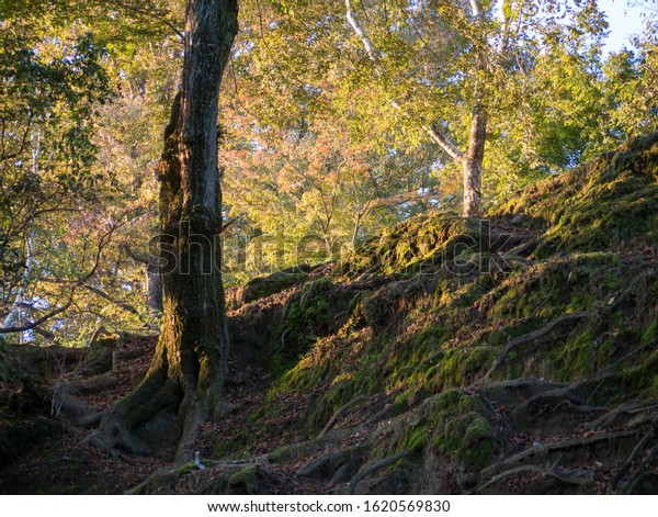 Old tree with visible roots growing on a slope covered by moss in Nara, Japan