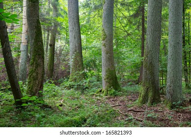 Old trees of Bialowieza Forest in summer