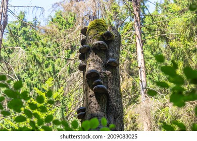 old trunk of a grown tree overgrown with mushrooms and moss in open forest area