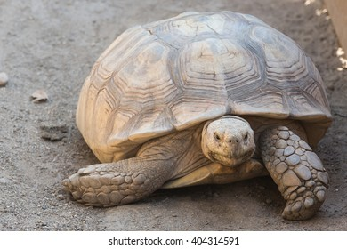 An old turtle walks around its cage.