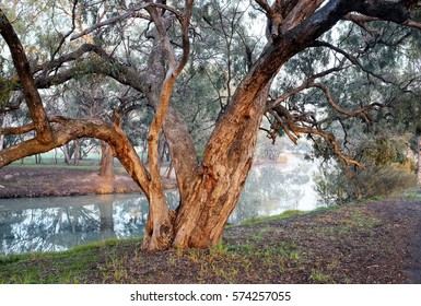 Old twisted branches of box tree on banks of Wimmera River at Horsham, Australia with soft early morning light and fog lifting