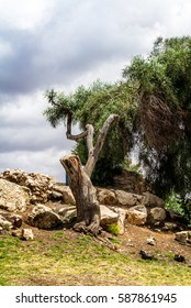 The old twisted tree trunk on a stony hillside in Jerusalem, landscape of Israel