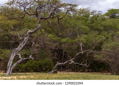 Old twisted trees on beach along the tree line in Makena State Park, Maui, Hawaii