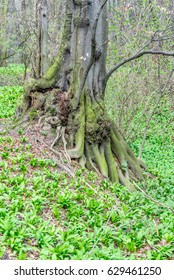 Old unusual tree trunk in forest at early spring, with magic atmosphere