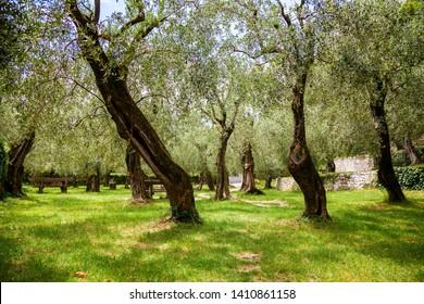 old urban olive park in Nago-Torbole, lake Garda, Italy