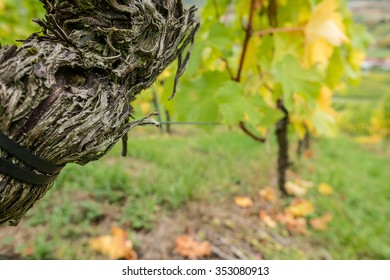 Old vine with cracked bark in a vineyard