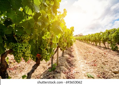 Old vineyards with red wine grapes in the Alentejo wine region near Evora, Portugal Europe