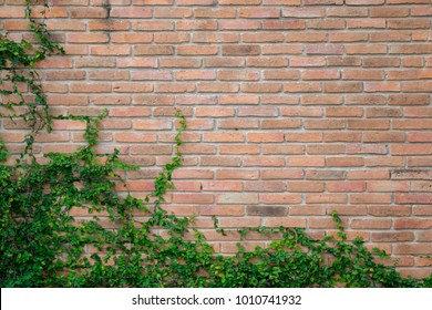 old vintage brick wall with the green ivy. this picture have space for content with ivy as a frame