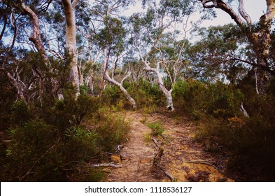Old walk path in Australian forest with ancient eucalyptus trees. Australian old eucalyptus forest with hiking track. Walk path.