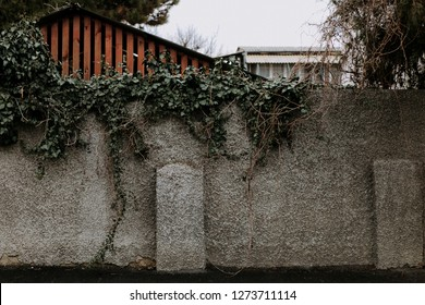 An old wall of bricks overgrown with vines of wild grapes