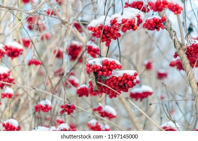 Old and weathered bright red berries, branches and twigs of a guelder-rose covered with snow. It is a cold day in the Dutch winter season.