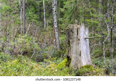 Old weathered tree stump in a green coniferous forest