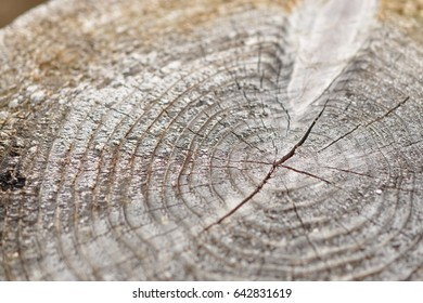 Old weathered wood texture with the cross section of a cutting background.