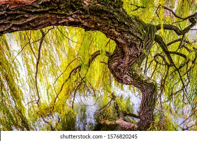old weeping willow at a river