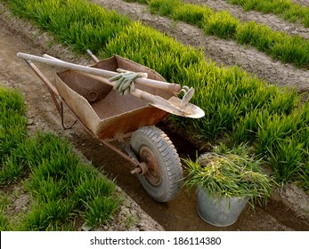 old wheelbarrow with garden tools between vegetable beds with growing wheat as green manure