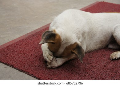 The old white dog lay down on the red carpet and express as a motion of shy