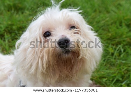 Old White Mixed Breed Maltese Yorkshire Stock Photo Edit Now