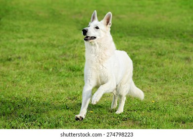 Old White Swiss Shepherd runs in the meadow
