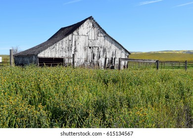 Old white wooden  barn surrounded by yellow spring wildflowers backed by clear blue skies.